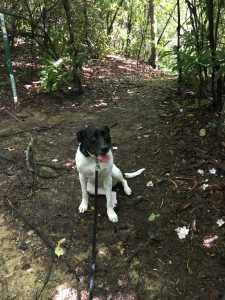 Pretty black and white dog on the trail